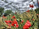 bushes and poppies.....