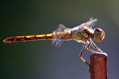 DragonflyCL