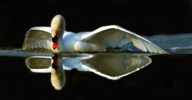 Mirror for the swan